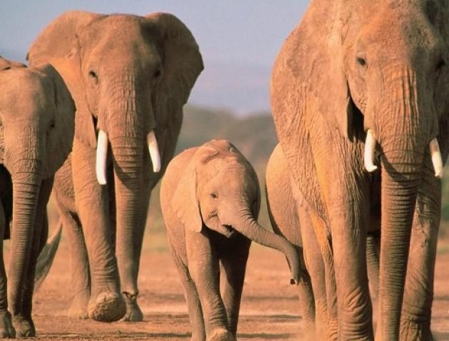 Elefanti in pericolo, firma la petizione di Avaaz
