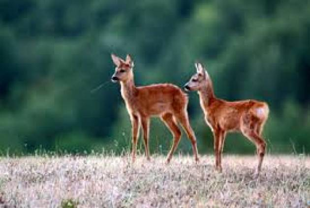 Varese - Cucciolo di capriolo nei boschi