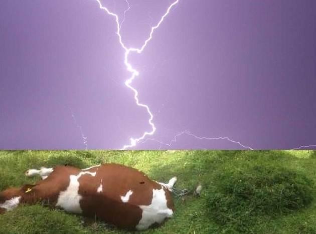 Maltempo, mucca uccisa da un fulmine Danni per 5 milioni di euro a Bergamo