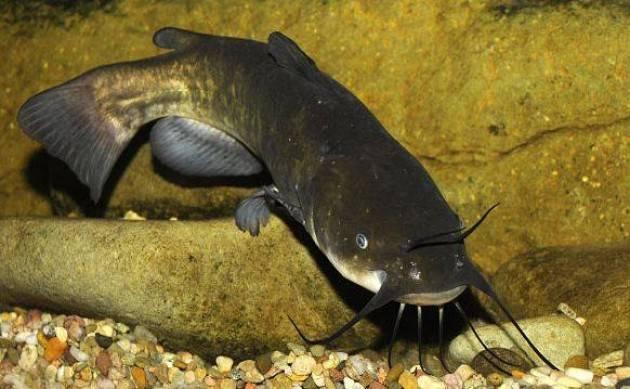 Il Pesce Gatto En Pescaduur Furtunaat Di Giorgio Barbieri
