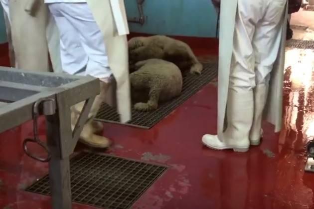 (Video) Per gli agnelli questa è la Pasqua Video shock di 'Essere Animali'