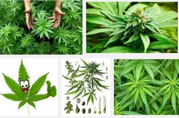 Aduc Legalizzazione cannabis. Tutto latita e il punizionismo dilaga.