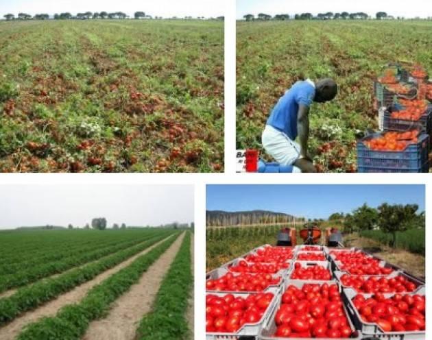 Coldiretti  Clima, -7% pomodoro in Lombardia: caldo record sull'inizio della raccolta