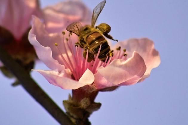 Coldiretti Caldo, addio al 30% del miele lombardo Gli apicoltori cremonesi: danni agli alveari