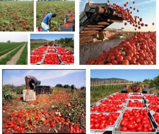 Coldiretti Al via la 'vendemmia' del pomodoro nel casalasco : -12% per grandine e sbalzi temperatura