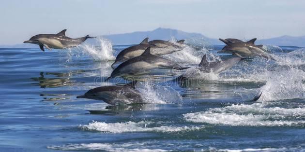 Delfini maltrattati nelle acque del Golfo di Catania, preoccupazione per i rari 'Delfini comuni'