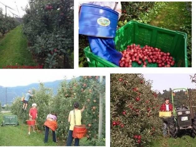 Coldiretti  Valtellina, al via 'vendemmia' delle mele:la grandine fa crollare raccolti fino a -60%