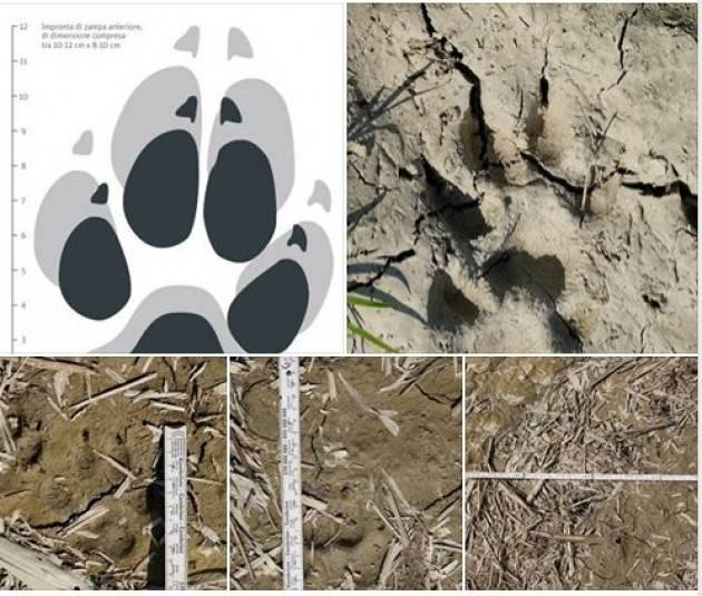 I presunti lupi visti in pianura sono effettivamente lupi di Davide Persico (San Daniele Po)