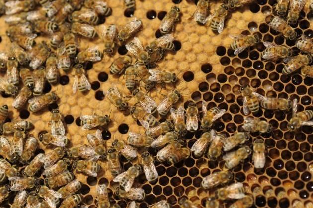 Cremona Alla scoperta del mondo delle api Lezioni di apicoltura alla fattoria Apiflor di Pescarolo