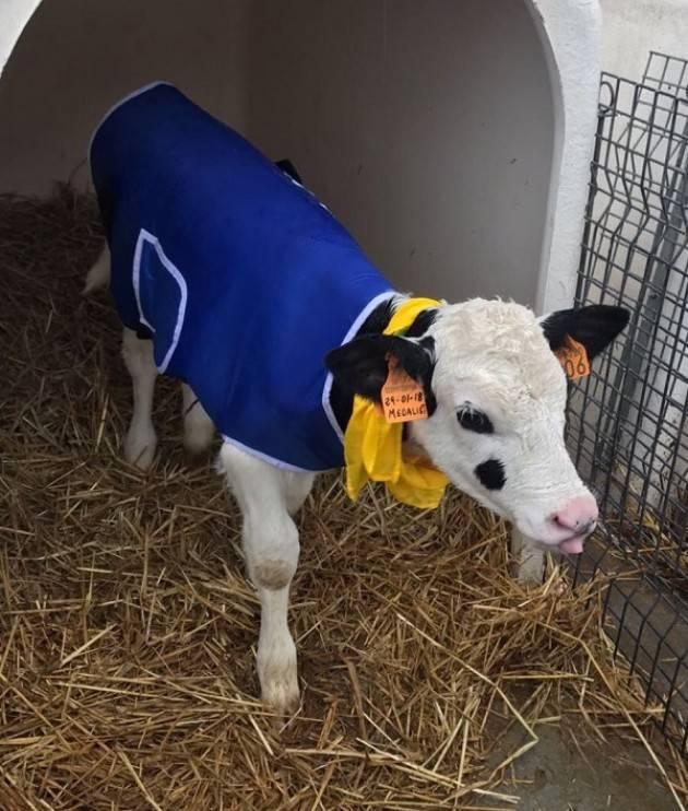 Coldiretti Freddo, cappottini e lampade riscaldanti: così si affronta il gelo nelle stalle lombarde