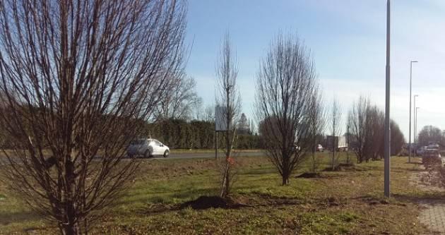 Cremona: Piantumazione nuovi alberi, procede spedito il piano del Comune