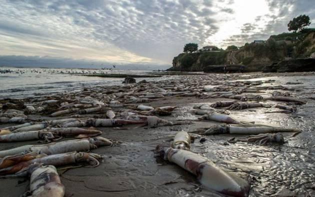 AccaddeOggi   19 gennaio 2005  Sulle spiagge di  Los Angeles si arenano  1.500 calamari giganti