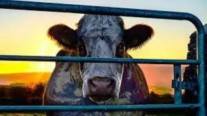'Cowspiracy: The Sustainability Secret' al Cinema Chaplin di Cremona martedì 12 febbraio