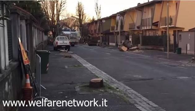 Crema Polemiche infinite sull'abbattimento delle 'bagolare' di Via Bacchetta (Video di Emanuele Mandelli)