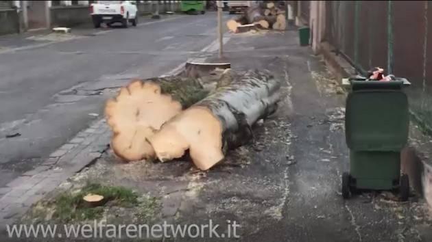 Crema: al via l'eradicazione dei bagolari in via Bacchetta