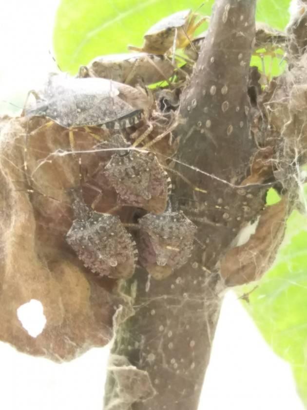 Coldiretti  Lombardia Caldo, cimice asiatica assalta frutta: colpite pere, pesche e albicocche
