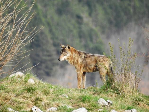 Salvaguardia del lupo nelle Alpi : Approvato il Progetto Life Wolfalps EU di Christian Flammia