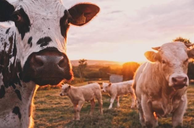 Allarme Coldiretti: 'Con il caldo, prodotto fino al 10% di latte in meno'