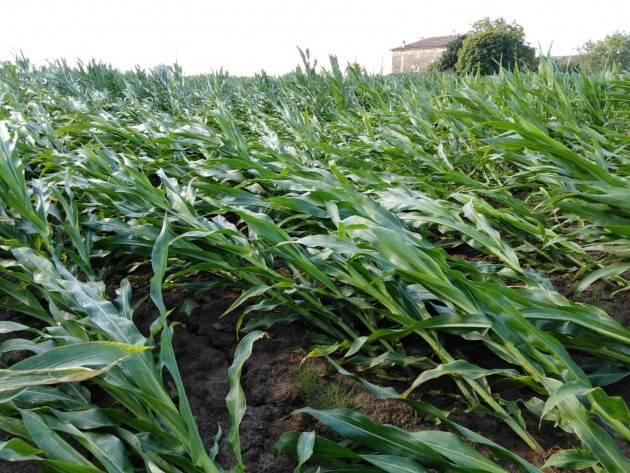 Coldiretti Maltempo, nuova ondata nel Mantovano: mais schiacciato, serre e tetti scoperchiati