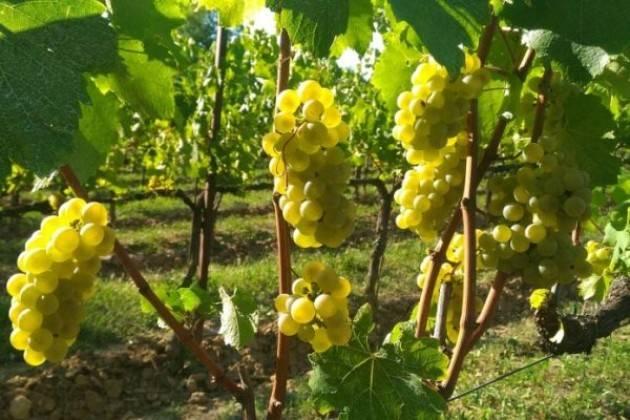 Coldiretti Vendemmia al via in Lombardia: -20% grappoli per clima 'pazzo'