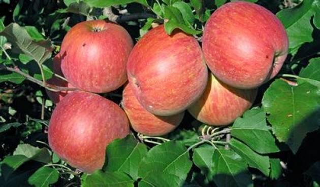 Coldiretti Valtellina, raccolta delle mele al via: produzione oltre i 300 mila quintali