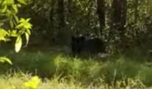 La Prefettura di Cremona : la pantera del video diffuso non è una pantera ma un grosso felino