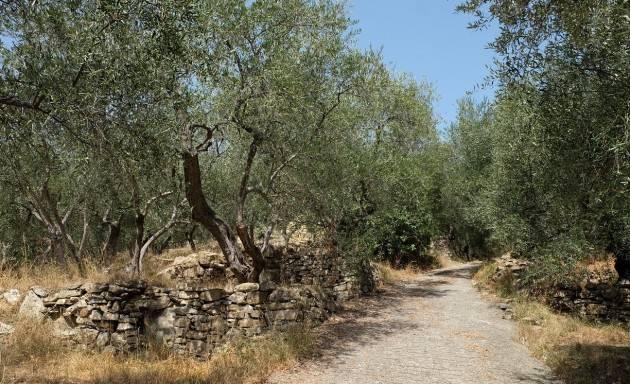 Prende il via domenica 27 ottobre 2019 la terza edizione della 'Camminata tra gli olivi'| Christian Flammia