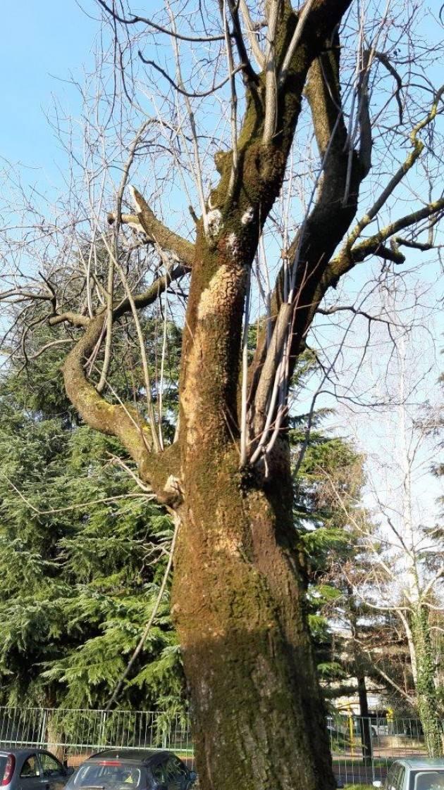 BERGAMO: Peri chanticleer saranno piantati al posto dei prunus malati di via Monte Cornangera