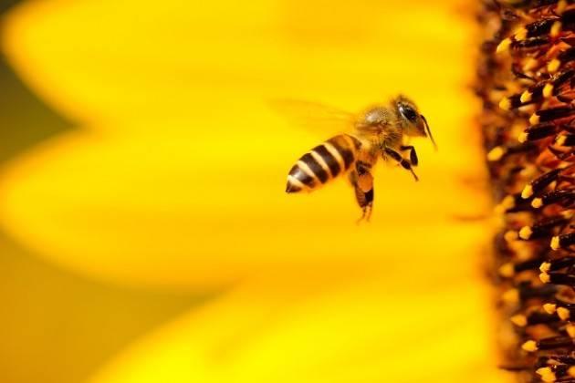 Giornata della api, cala del 20% la raccolta di miele in Lombardia