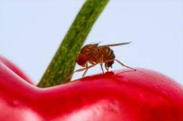 Il ministero autorizza l'importazione del parassitoide della Drosophila suzukii a fini sperimentali