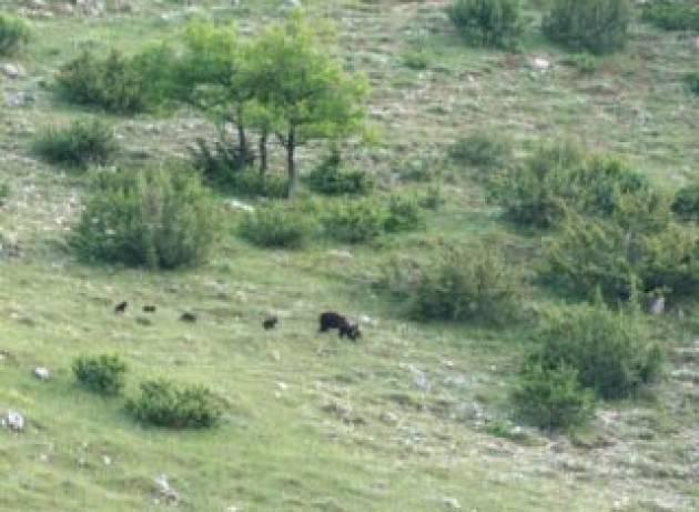 Orso marsicano nel Pnalm con 4 cuccioli