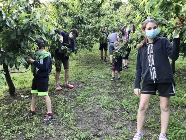 Bergamo: Arriva il frutteto aperto con la raccolta ''fai da te'' delle ciliegie