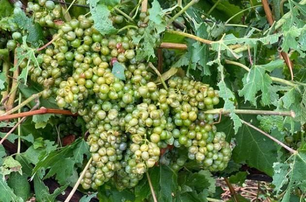 Coldiretti  Maltempo in Lombardia, grandine mitraglia uva in Valtellina Cremona: mais spianato
