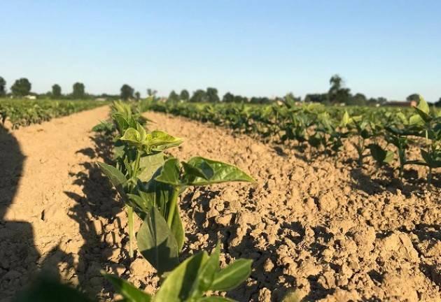 Fagiolini dall'Occhio di Pizzighettone da agricoltura locale Raccolto di oltre 30 quintali