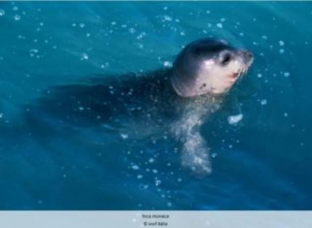 Avvistata una foca monaca nell'Area marina protetta di Porto Cesareo