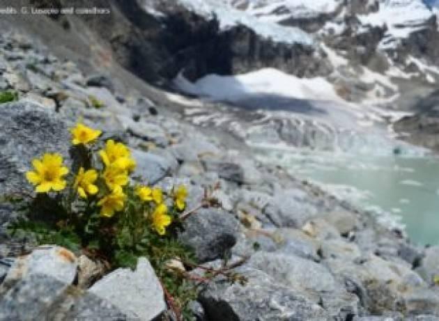 Quasi un quarto delle piante alpine è a rischio estinzione per la scomparsa dei ghiacciai