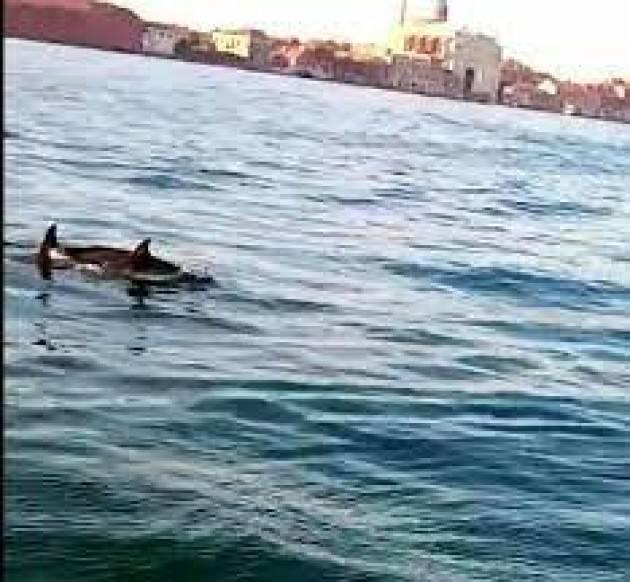 Delfini nel Canal Grande: l'assenza delle navi fa rinascere la laguna