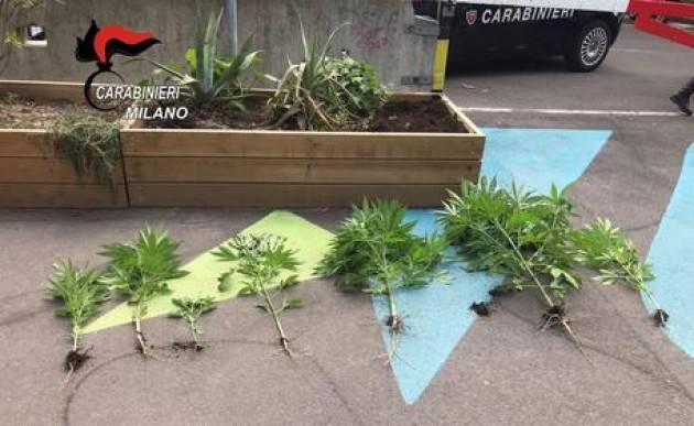 Piante marijuana in fioriera in piazza a Milano, sequestrate