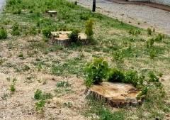 Boshetto (Cremona) Chi ha dato il permesso per tagliare gli alberi di Via Crocile ?