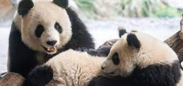 I panda non sono più a rischio estinzione