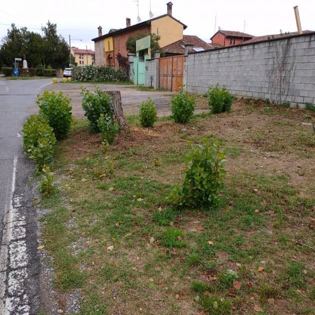 Cremona Come l'Araba Fenice gli alberi tagliati ricrescono